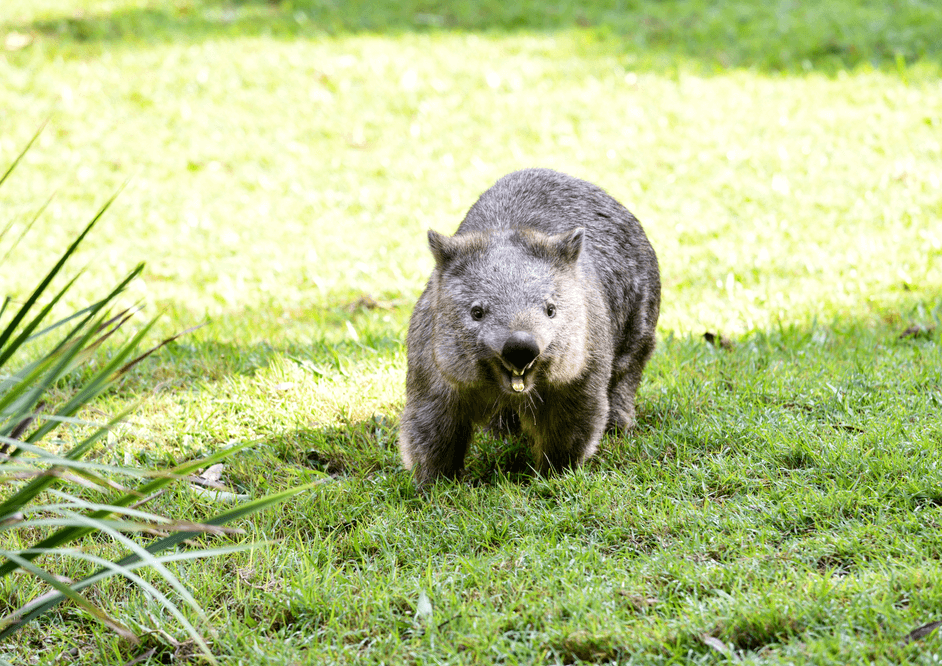 Wombat Stew story – Marcia K. Vaughan